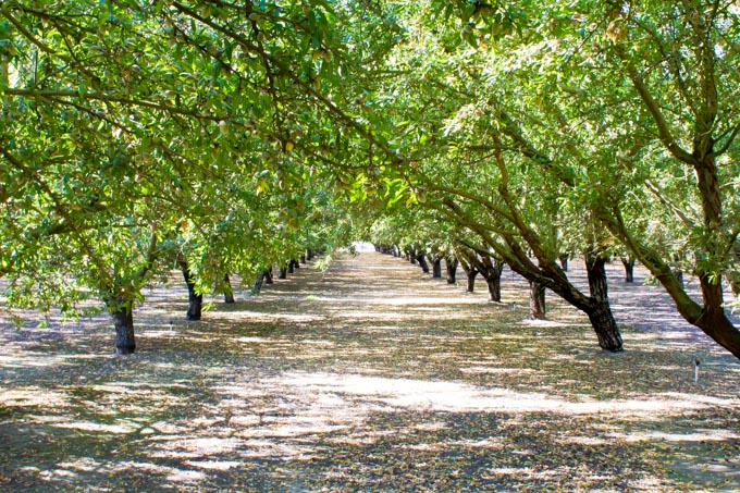 almond orchard | immaEATthat.com